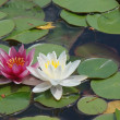 White and Pink water lilies 2 — Stock Photo #11482063