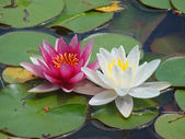 White and Pink water lilies — Stock Photo