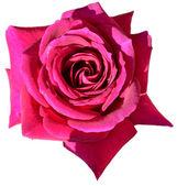Rose blossom — Stock Photo