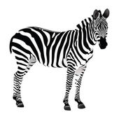 Balack and white Zebra — Stock Vector
