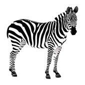 Balack and white Zebra — Stock Vector