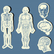 Royalty-Free Stock Vector Image: Human anatomy