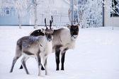 Reindeers evinin önünde kar — Stok fotoğraf