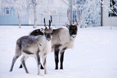 Reindeers in snow front of house — Stock fotografie