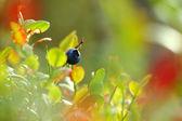 Mavi berry dalı bahçedeki yaprakları ile — Stok fotoğraf
