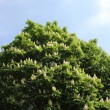 Blooming horse chestnut tree — Stock Photo #11792879