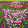 Lot of bright-colored tulips - Stock Photo