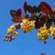 Beautiful flowering barberry — Stock Photo