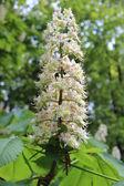 Tender white flower horse chestnut — Stock Photo