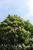 Blooming horse chestnut tree — Stock Photo