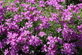 Phlox subulata pink flowers — Stock Photo