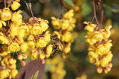 Wasp on a beautifully flowered barberry — Stock Photo