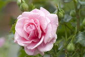 Pink rose in a garden — Stock Photo