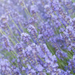 Lavender flower field. — Stock Photo