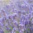 Lavender flower field. — Stock Photo #11088672