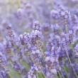 Lavender flower field. — Stock Photo