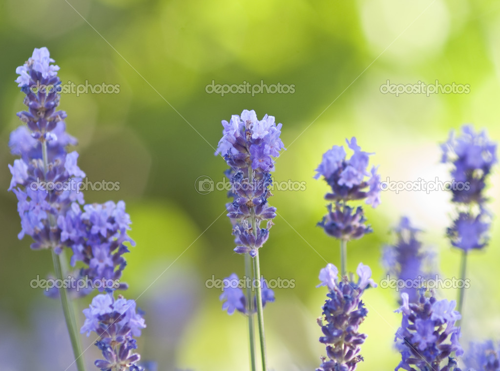 Lavender flower field, natural background. — Stock Photo #11088748