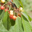 Sweet cherry tree branch — Stock Photo #11213059