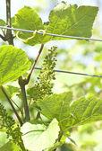 Green grape at vineyard — Stock Photo