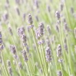 Royalty-Free Stock Photo: Lavender flower field, natural background