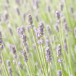 Lavender flower field, natural background — Stock Photo #11513672