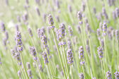 Lavender flower field, natural background — Stock Photo