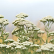 Achillea millefolium - yarrow common herb — Stock Photo