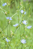 Bush of blossoming chicory — Stock Photo