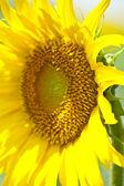 Close up of yellow sunflower — Stock Photo