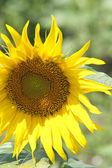 Yellow sunflower head — Stock Photo