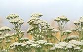 Achillea millefolium - yarrow common herb — Stock Photo