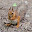 Squirrel — Stockfoto #10791997
