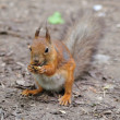Foto Stock: Squirrel