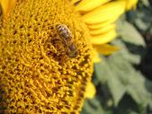 A sunflower — Stock Photo