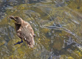 Duckling in transparent water — Stock Photo