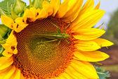 Locust på solrosen — Stockfoto