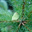 Butterfly on branch Pine — Stock Photo