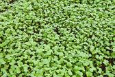 Seedlings of mustard — Stock Photo