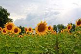 Sunflowers in field — Stock Photo