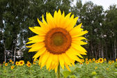 Large sunflower — Stock Photo