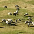 Royalty-Free Stock Photo: Flock of sheep grazing