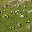Stock Photo: Flock of sheep on mountain pastures