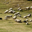 Herd of sheep on mountain pastures — Stock Photo
