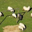 Sheep graze around the football goal — Stock Photo