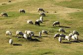 羊の放牧の群れ — ストック写真