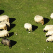 Stock Photo: A group of sheep