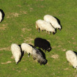 Stock Photo: Black sheep in a group of white sheep