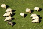 A group of sheep — Stock Photo