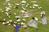 A large group of sheep on mountain pastures — Stock Photo