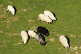 Black sheep in a group of white sheep — Stock Photo